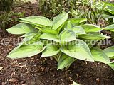 Hosta 'Tardiana group'  (Plantain lily, Funkia)