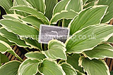 Hosta 'Crested Surf'