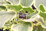 Hosta 'Yellow River'