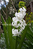 Hyacinthus orientalis (Hyacinth, Dutch Hyacinth)