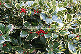 <em>Ilex aquifolium</em> 'Argentea Marginata' AGM (silver-margined holly, variegated holly)