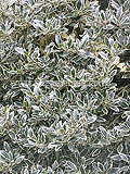Ilex aquifolium 'Argentea Marginata' AGM (silver-margined holly, variegated holly)