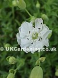Silene uniflora 'Robin Whitebreast' (Sea Campion 'Robin Whitebreast')