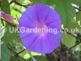 Ipomoea hederacea (Morning glory)