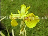 Iris pseudacorus (Yellow flag iris)