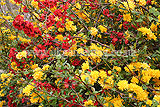Kerria japonica var. japonica with Chaenomeles speciosa (Japanese quince)