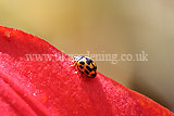 Ladybird (14 spot) on lily
