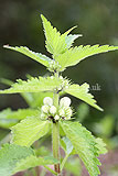 Lamium album (White Dead Nettle)