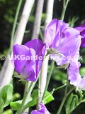 Lathyrus odoratus 'Fragrant skies' (Sweet pea)
