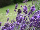 Lavandula angustifolia (Common or English lavender)