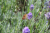 <em>Lavandula angustifolia</em> (Common or English lavender) with Large Skipper butterfly