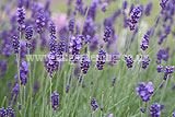 <em>Lavandula angustifolia</em> (Common or English lavender)