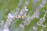 <em>Lavandula angustifolia</em> (Common or English lavender) with hoverfly