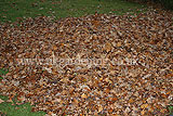 Making leaf mould (1)