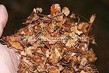 Leaf mould (finely chopped after running over with lawnmower)