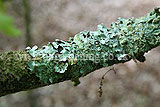 Lichen on oak branch