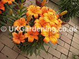 Lilium 'Orange Pixie' (Asiatic Lily)