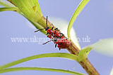 Lilioceris lilii (lily beetle, scarlet lily beetle, red lily beetle)