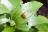 Lilioceris lilii (lily beetle, scarlet lily beetle, red lily beetle) including damage to the lily leaves.