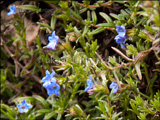 Lithodora diffusa 'Heavenly Blue' syn. Lithospermum diffusum 'Heavenly Blue', Lithospermum 'Heavenly Blue'