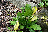 Lysichiton americanus (Skunk cabbage)