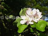 Malus domestica 'Bramley's Seedling' (Apple)