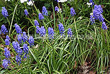Muscari armeniacum 'Misty Skies' (Grape hyacinth, Armenian grape hyacinth)