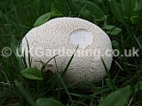 <em>Lycoperdon perlatum</em> (Common puffball)
