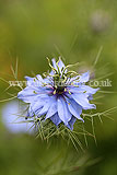 Nigella damascena (Love-in-a-mist)