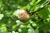 Quercus robur (Common oak) with oak apple gall