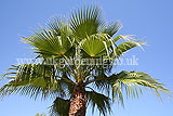 Washingtonia robusta (Fan palm)