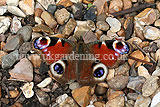 <em>Aglais io</em> Peacock butterfly (European peacock)