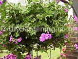 Pelargonium Ivy-leaved hybrid 'Eastbourne Beauty' (Geranium)