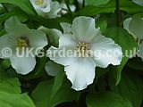 Philadelphus 'Sybille' (Mock orange)