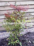 Photinia x fraseri 'Red Robin' (Christmas Berry, Fraser Photinia)