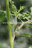 Pinching out side shoots from cordon tomatoes (1)