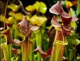 <em>Sarracenia</em> North American pitcher plant