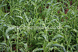 Polygonatum (Solomon's Seal)