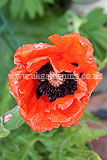 Papaver orientale (Ornamental poppy)