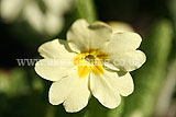 Primula vulgaris (primrose, common primrose, English primrose)