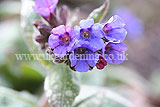 <em>Pulmonaria officinalis</em> - Common lungwort, spotted dog, soldiers and sailors, Jerusalem cowslip