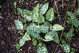Pulmonaria officinalis - Common lungwort, spotted dog, soldiers and sailors, Jerusalem cowslip