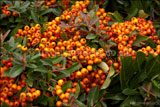 Pyracantha 'Orange Glow' AGM (Firethorn)