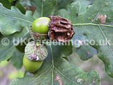 Quercus robur (Common oak) with Knopper oak gall caused by the wasp Cynips calicis