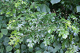 Quercus robur (Oak, English oak, Common oak)