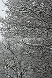 Quercus robur (Oak, English oak, Common oak) covered with a blanket of snow