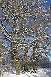 Quercus robur (Common oak) - covered in snow