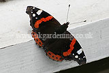 Vanessa atalanta Red Admiral butterfly