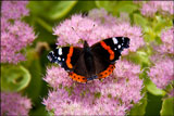 Red admiral on <em>Sedum spectabile</em> syn. <em>Hylotelephium spectabile</em> (ice plant, stonecrop)