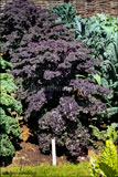 Brassica oleracea Acephala Group (Red Curly Kale)